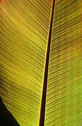 Ensete ventricosum 'Maurelii' - Abyssinian banana
