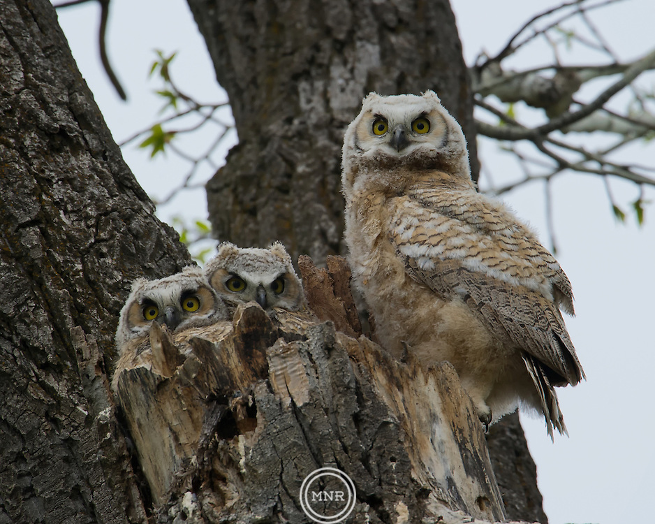 Three Great Horned owlets watching from the safety of the nest.
