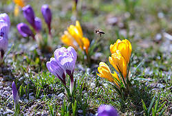 THEMENBILD - eine Biene fliegt über einer Krokuswiese, aufgenommen am 13. März 2018, Piesendorf, Österreich // a bee flies over a crocus meadow on 2018/03/13, Piesendorf, Austria. EXPA Pictures © 2018, PhotoCredit: EXPA/ Stefanie Oberhauser