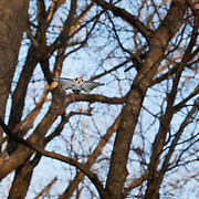 This is a Pteromys volans orii Japanese dwarf flying squirrel flying through the forest during a flurry of activity involving five individuals, two females and three males. The two females were in estrus.