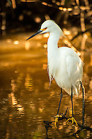 A lone snowy egret hunts the brackish pools among the mangroves in a tidal pond on Sanibel Island, Florida.