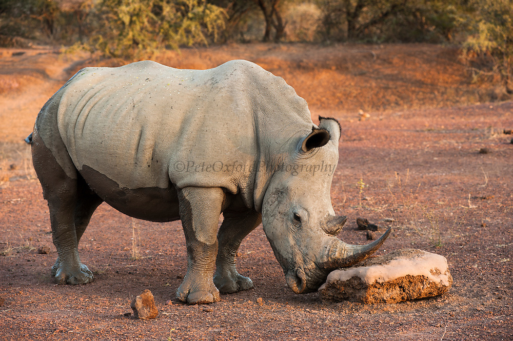 White rhinoceros (Ceratotherium simum) Drinking<br /> Private Reserve, <br /> SOUTH AFRICA<br /> ENDANGERED SPECIES
