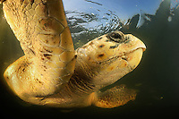 Powerful flipper strokes and strong jaws: An adult loggerhead sea turtle (Caretta caretta) is perfectly designed for underwater flight and for a prey of hard-shelled invertebrates like crabs and snails..Dalyan delta, Turkey