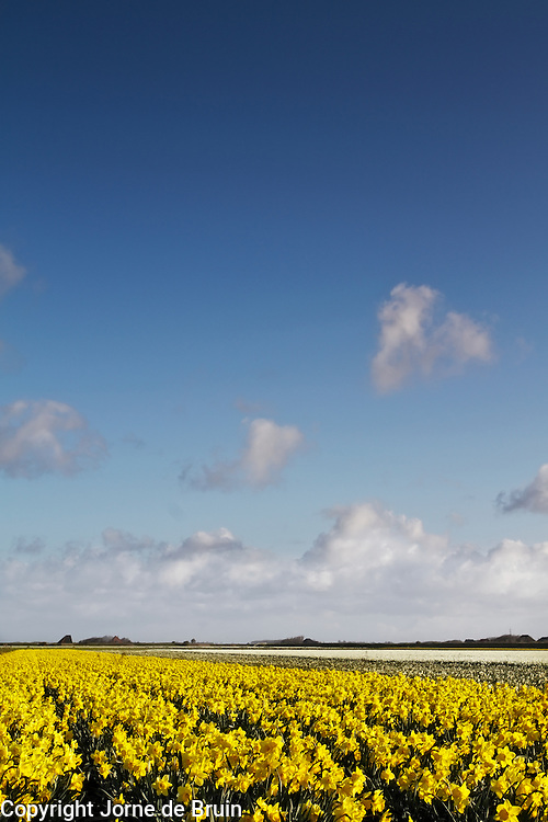 A field of daffodils in bloom at the island of Texel in the Netherlands.