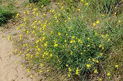 Grote zandkool, Wilde rucola, Diplotaxus tenuifolia, eetbare, edible plant
