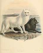 """The Arctic fox (Vulpes lagopus [Here as Canis lagopus]), also known as the white fox, polar fox, or snow fox, is a small fox native to the Arctic regions of the Northern Hemisphere and common throughout the Arctic tundra biome.[1][7][8] It is well adapted to living in cold environments, and is best known for its thick, warm fur that is also used as camouflage. From the Book Dogs, Jackals, Wolves and Foxes A Monograph of The Canidae [from Latin, canis, """"dog"""") is a biological family of dog-like carnivorans. A member of this family is called a canid] By George Mivart, F.R.S. with woodcuts and 45 coloured plates drawn from nature by J. G. Keulemans and Hand-Coloured. Published by R. H. Porter, London, 1890"""