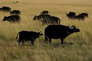 Buffalos in tall grass, Masai Mara, Kenya