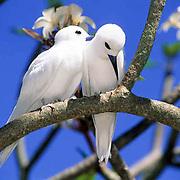 White or Fairy Tern, (Gygis alba) Pair. Midway Island. Hawaii.