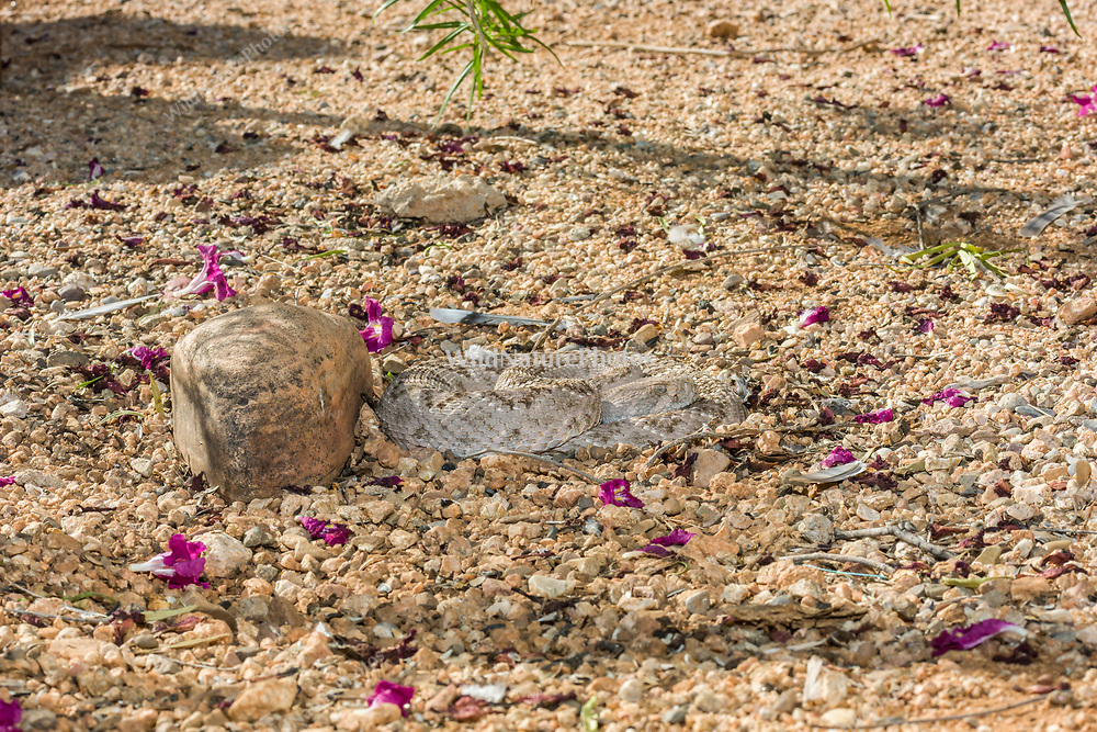 A Western Diamondback rattlesnake (Crotalus atrox) lays in wait at night, hunting for birds or rodents (Arizona)