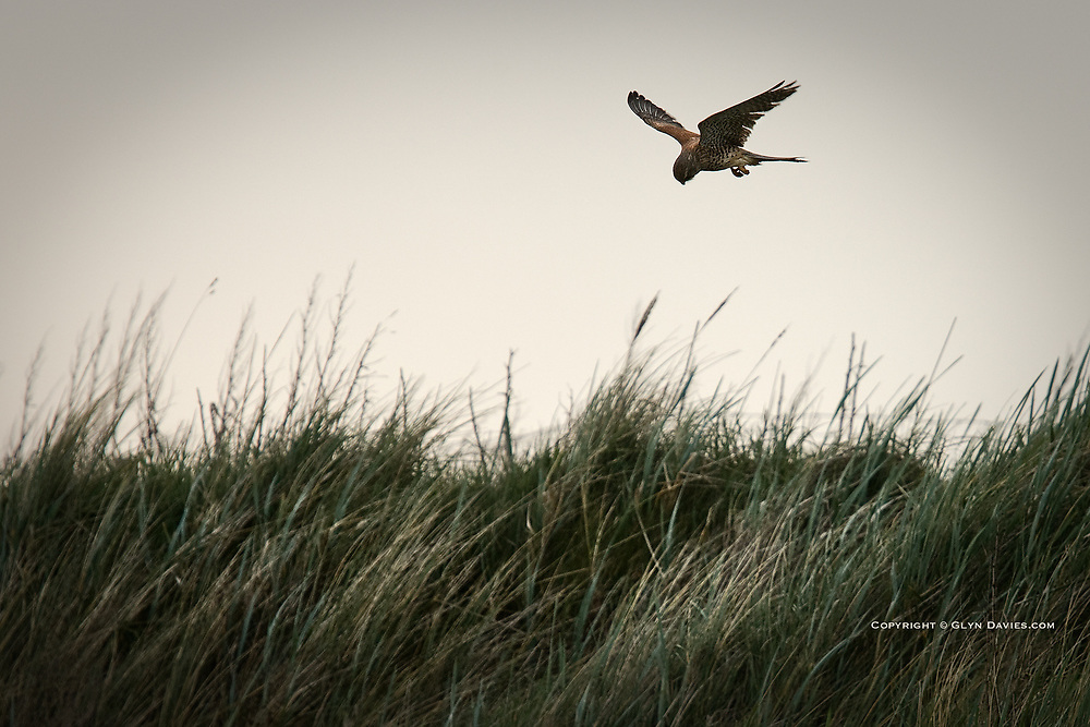 A Kestrel hunts over grass covered sand dunes on the West Coast of Anglesey, North Wales.<br /> <br /> <br /> As I crouched at the water's edge, the sea splashing over me and the camera equipment, I noticed a Kestrel hovering above the dune behind me, motionless apart from the occasional decisive flap of the wings, then total balance in fluid harmony with the air current, alone and focussed, at one with it's surroundings and in its element. That at least we shared..