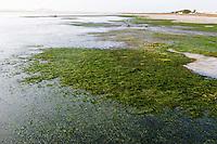 Cape Eel grass in the Heuningnes Estuary, De Mond Nature Reserve, Western Cape, South Africa