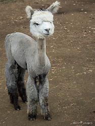 United States, Washington, Carnation, baby alpaca (cria) at farm