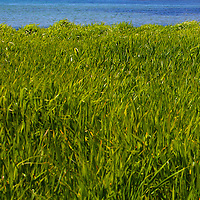 North America, Canada, Nova Scotia, Guysborough County. Beach Grass of Black Duck Cove Day Use Park in LIttle Dover.