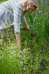 Removing large weeds from a border by hand - Epilobium - Willowherb