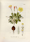 Woodsorrel (Oxalis tricolor). Illustration from 'Oxalis Monographia iconibus illustrata' by Nikolaus Joseph Jacquin (1797-1798). published 1794