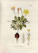 Woodsorrel (Oxalis tricolor). Illustration from 'Oxalis Monographia iconibus illustrata' by Nikolaus Joseph Jacquin (1797-1798). published 1794