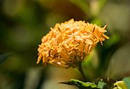 A deep yellow Ixora flower in the Sunnyside Garden, St. George's,  Grenada, Caribbean, West Indies