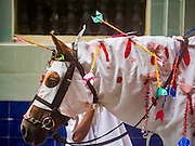 24 OCTOBER 2015 - YANGON, MYANMAR: A horse in a procession at Punja Mosque on Ashura in Yangon. The horse represents the horse Hussein ibn Ali rode into battle on the day he was killed. Ashura commemorates the death of Hussein ibn Ali, the grandson of the Prophet Muhammed, in the 7th century. Hussein ibn Ali is considered by Shia Muslims to be the third imam and the rightful successor of Muhammed. He was killed at the Battle of Karbala in 610 CE on the 10th day of Muharram, the first month of the Islamic calendar. According to Myanmar government statistics, only about 4% of the population is Muslim. Many Muslims have fled Myanmar in recent years because of violence directed against Burmese Muslims by Buddhist nationalists.    PHOTO BY JACK KURTZ