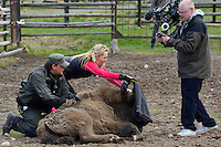 SVT TV host and filmcrew working together with Mikael Jansson, manager at Avesta Visentpark. Transportation of European Bison, or Wisent, from the Avesta Visentpark, in Avesta, Sweden. The animals were then transported to the Armenis area in the Southern Carpathians, Romania. All arranged by Rewilding Europe and WWF Romania, with financial support from The Dutch Postcode Lottery, the  Swedish Postcode Foundation and the Liberty Wildlife Fund.