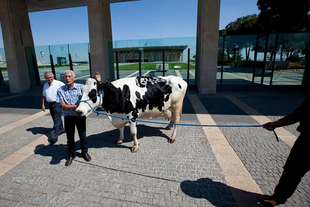 Israeli lawmaker, Knesset Menber Shai Hermesh (2nd L) stands with a cow at the entrance to Israel's parliament, the Knesset in Jerusalem on June 27, 2011, as a protest against the expanding import of dairy products to Israel, and as an act of solidarity with Israel's farmers, following recent protests in Israel against the price of cottage cheese.