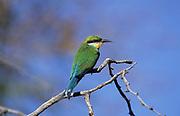 Swallow-tailed Bee Eater, Merops hirundineus, Kgalagadi Transfrontier Park, Kalahari, South Africa, Perching, Desert,
