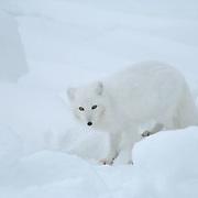 Arctic Fox (Alopex lagopus)Winter fur coat phase. Near Churchill, Manitoba. Canada. Winter.