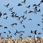 Canada geese (Branta canadensis) in flight above corn fields. Minnesota