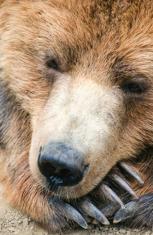 Alaska. Grizzly bear (Ursus arctos).