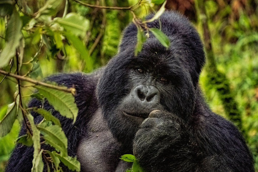 A large 'silverback' male gorilla gazing inquisitively whilst eating some leaves. Uganda<br /> <br /> Limited Edition of 25 only.