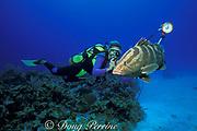 diver photographing Nassau grouper,<br /> Epinephelus striatus, <br /> Grand Cayman Island ( Caribbean Sea )   MR 202