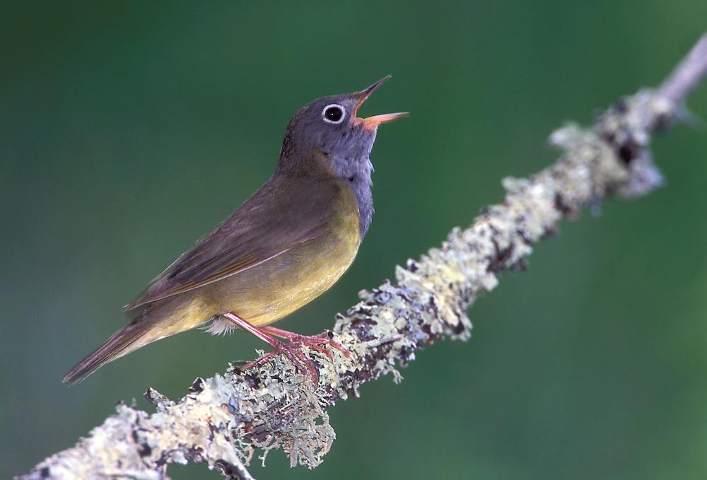 Connecticut Warbler - Oporornis agilis