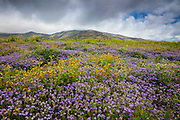 A carpet of yellow and violet spring wildflowers grow at the base of the Tehachapi Mountains in California, as an April rainstorm passes overhead.