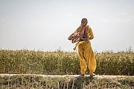 """Trafic d'épouse 11032019. Haryana. Biwhat district. Village. De chaque côté de la route où travaille Shahina, femme d'Ayub, des champs à perte de vue. Petite femme ronde en tunique émeraude, elle sectionne à la faucille des tiges sèches qui servent de bois de chauffage. """"Il (son mari) a dit à mes parents que l'Haryana était un bon endroit pour moi, raconte Shahida. Il a promis que j'y serai heureuse, qu'il m'offrirait des bijoux. » Peu éduquée, déracinée, coupée de sa langue maternelle et de ses habitudes, vestimentaires ou alimentaires, Shahina s'est retrouvée soumise au bon vouloir d'Ayub. Le corps des « paros » appartient de facto à leur « mari », leur force de travail aussi."""