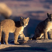 Mountain Lion or Cougar, (Felis concolor) Pair of cubs in canyon lands of Utah.  Captive Animal.