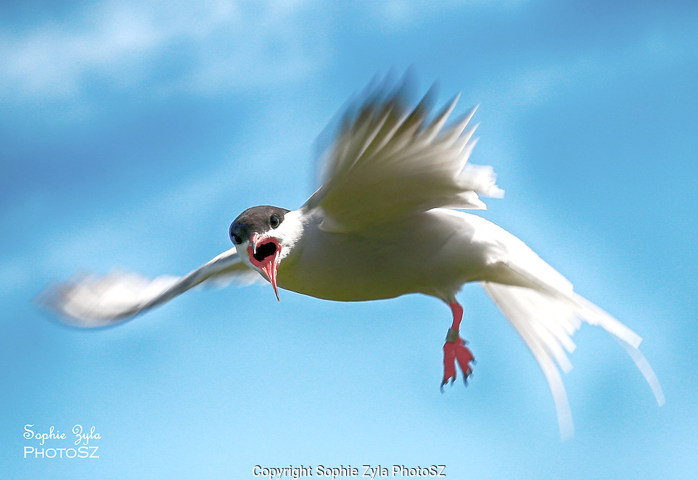 Kak Kak Kak Common Tern