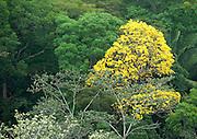 Guayacan Gold Tree, Tabebuia guayacan, Panama, Central America, Gamboa Reserve, Parque Nacional Soberania, flowering in treetops