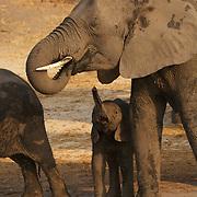 African elephant (Loxodonta africana) adult and baby, Kenya, Africa.