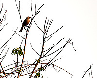Brown-headed Cowbird. Image taken with a Nikon D3s camera and 600 mm f/4 VR lens.