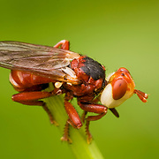 Red Conopidae Fly against green background