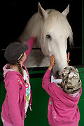 Two young girls stroke and pat a white horse in its stall. The hairdryers are out and the shampoo is flowing at the Great Yorkshire Show, one of Britain's biggest agricultural shows. Its famous for its competitive displays of livestock. The event, established in 1837, attracts over 125 000 visitors a year and has over 10 000 entries to its pedigree competitions ranging from pigeons and rabbits to bulls and shire horses. At the heart of the show is the passion of the exhibitors who spend hundreds of hours ( and pounds)  training, preparing and grooming their animals. As one competitor put it ? I'm proud to say that the cattle are my friend, I have had cattle who have died and I have sat down and wept for them?