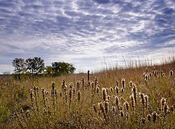 The pappus of dotted gayfeather contain the seeds for the plant as seen on this hillside on a fall afternoon in the Tallgrass Prairie National Preserve. The plant's taproot can be up to 15 feet deep. Native American's used the plant for medicinal purposes and food. The 10,894-acre Tallgrass Prairie National Preserve is located in the Flint Hills of Kansas in Chase County near the towns of Strong City and Cottonwood Falls. Less than four percent of the original 140 million acres of tallgrass prairie remains in North America. Most of the remaining tallgrass prairie is in the Flint Hills in Kansas. Tallgrass Prairie National Preserve is the only unit of the National Park Service dedicated to the preservation of the tallgrass prairie ecosystem. The Tallgrass Prairie National Preserve is co-managed with The Nature Conservancy.