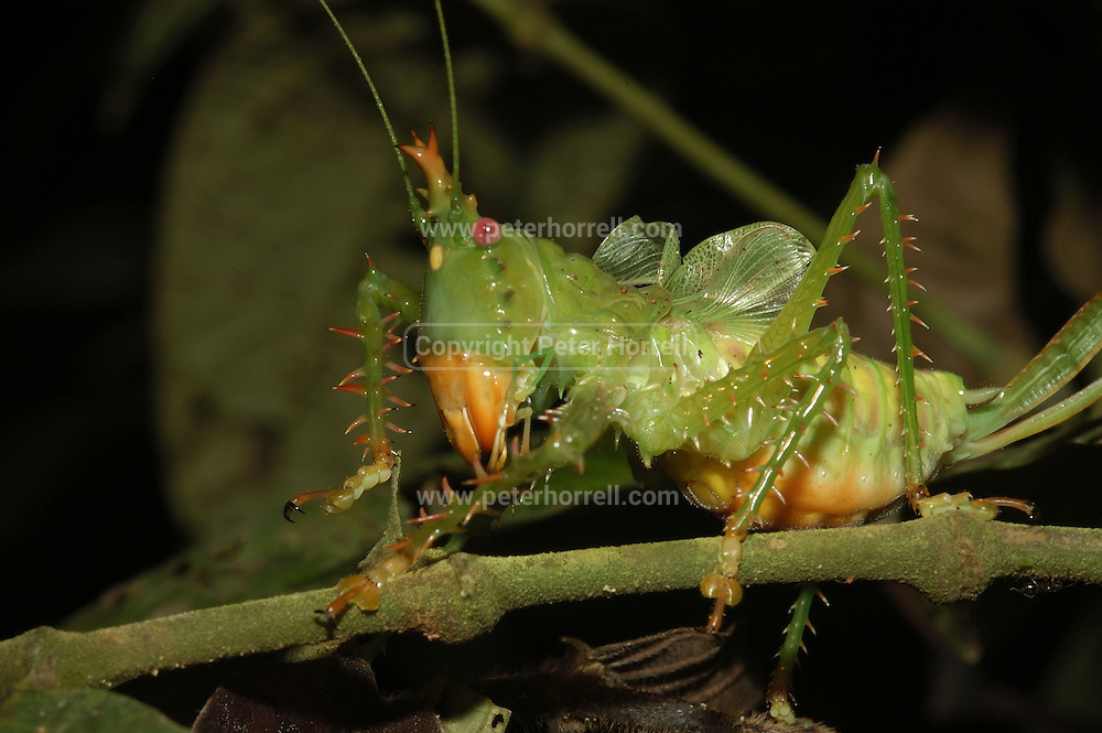 Lago Agrio - Tuesday, Jan 07 2003: A Spiny devil katydid (Panacanthus cuspidatus) on a branch in Cuyabeno National Park. (Photo by Peter Horrell / http://www.peterhorrell.com)