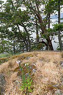 Garry Oak (Quercus garryana) and Arbutus trees (Arbutus menziesii) at Daffodil Point in Burgoyne Bay Provincial Park.  Flowers of a Common Foxglove (Digitalis purpurea) are in the foreground. Photographed on Salt Spring Island, British Columbia, Canada.
