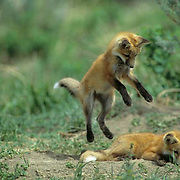 Red Fox, (Vulpus fulva) Young fox pup jumping on top of unsuspecting sleeping sibling. Spring.