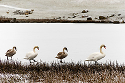 © Licensed to London News Pictures. 08/01/2021. Llanfihangel Nant Melan, Powys, Wales, UK. Swans and immature swans walk on a frozen lake in a wintry landscape near Llanfihangel nant Melan in Powys, Wales, UK. Photo credit: Graham M. Lawrence/LNP