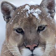 Mountain Lion, (Felis concolor) Portrait of adult in Rocky Mountains. Montana. Captive Animal.