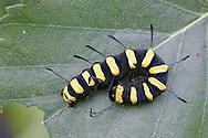 Alder Moth Larva - Acronicta alni