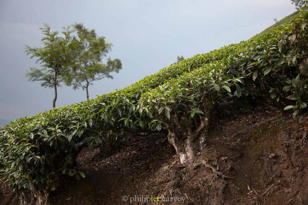 Tea growing in the hill station of Munnar in Kerala, India