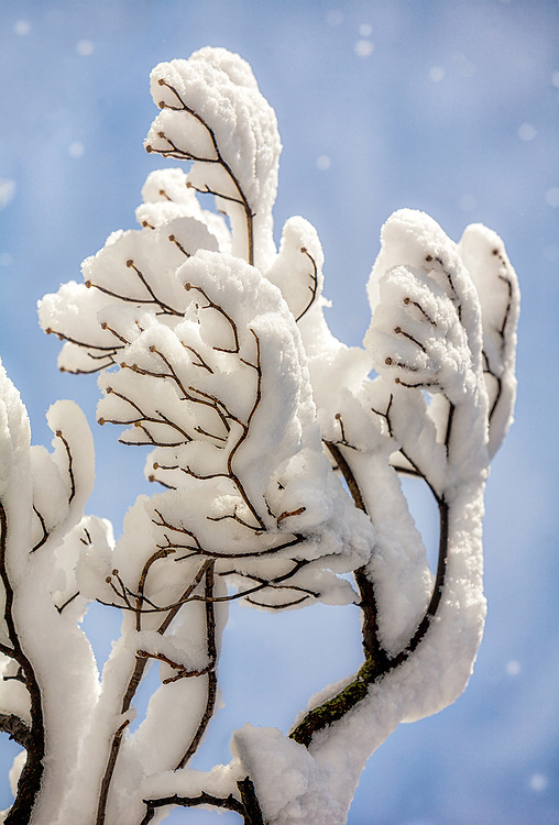 Snow on Dogwood Tree<br /> <br /> Washington DC Photography / Washington DC Photographs / Washington DC Images Art for Corporate Decor / Hospitality Decor / Health Care Decor / Interior Design Projects requiring Art of Washington DC<br /> <br /> Exceptional Quality Fine Art Photographic Prints / High-Res Images for Interior Decor Projects<br /> Framed Photographs / Prints / Wall Murals / Images Printed to Metal / Canvas / Acrylic / Wood<br /> <br /> Please click the dcstockphotos.com link at the top of this page to view my more complete and comprehensive collection with thousands of Washington DC Images including Image Galleries of other Regions and Specialties
