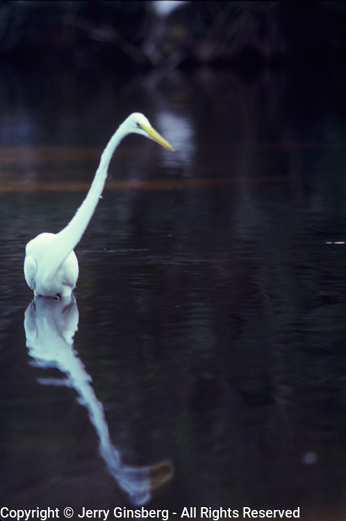Great white heron in Everglades National Park, FL.